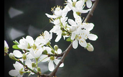 """La fleur de Bach """"Cherry Plum"""" : retrouver son calme intérieur"""