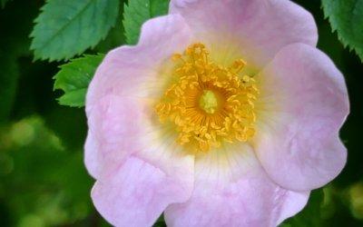 Wild Rose (l'Églantine) : Fleur de Bach de la joie de vivre