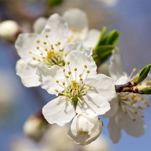 Prunus – Cherry Plum