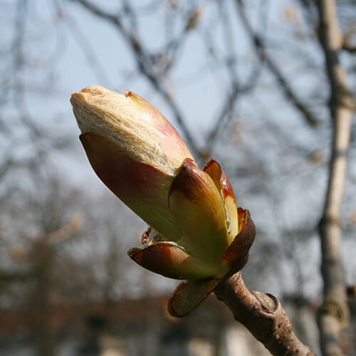 Bourgeon de Marronnier – Chestnut Bud
