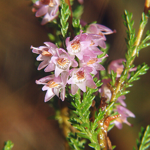 Bruyère – Heather