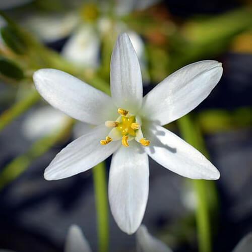 Étoile de Bethléem – Star of Bethlehem