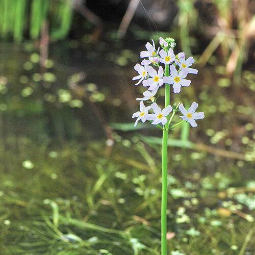 Violette d'eau – Water Violet
