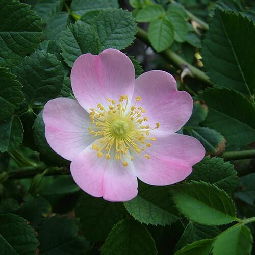 Églantier – Wild Rose